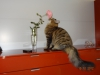 Winston Onix Gloria spotted tabby cat