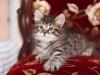 Winston Onix Gloria kitten