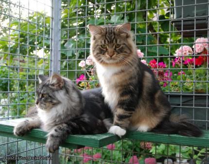 Onix Gloria Siberian male cat