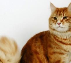 Red Siberian cat